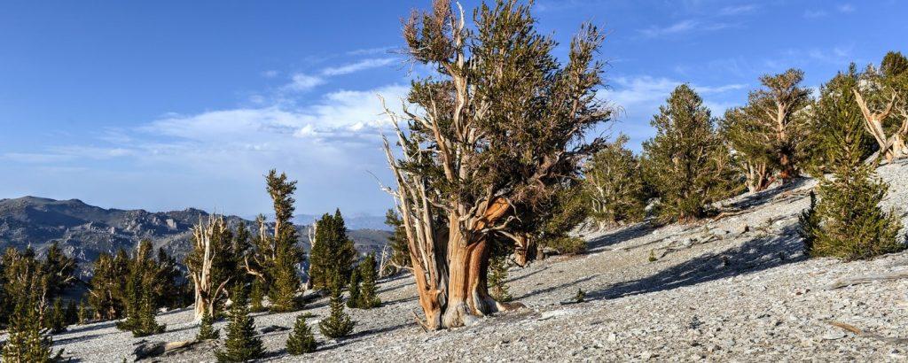 Bristlecone-Pine-Forest-Bishop-California