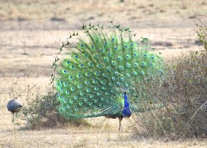 Bandhavgarh-National-Park-India-Peacock