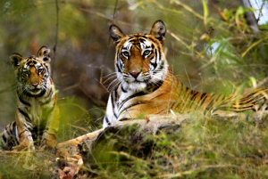 Kanha-National-Park-Tigers