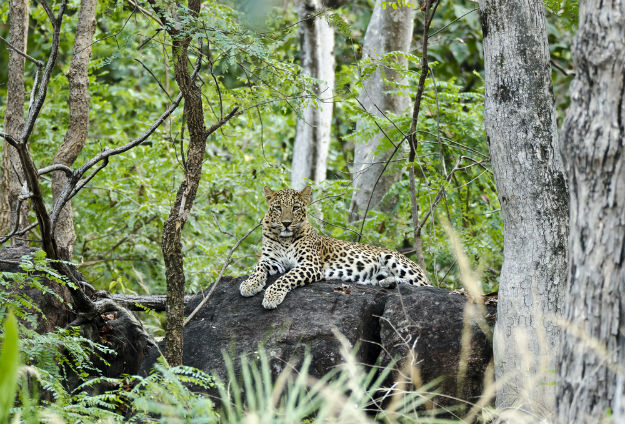Pench-National-Park-Leopard-India