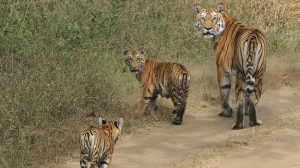 Pench-National-Park-Tigers-India