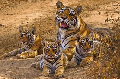 Tiger-Cubs-Ranthambhore-National-Park-India