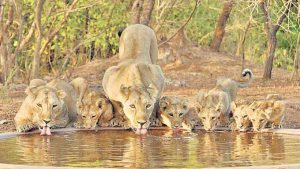 Lions-Gir-National-Park-India