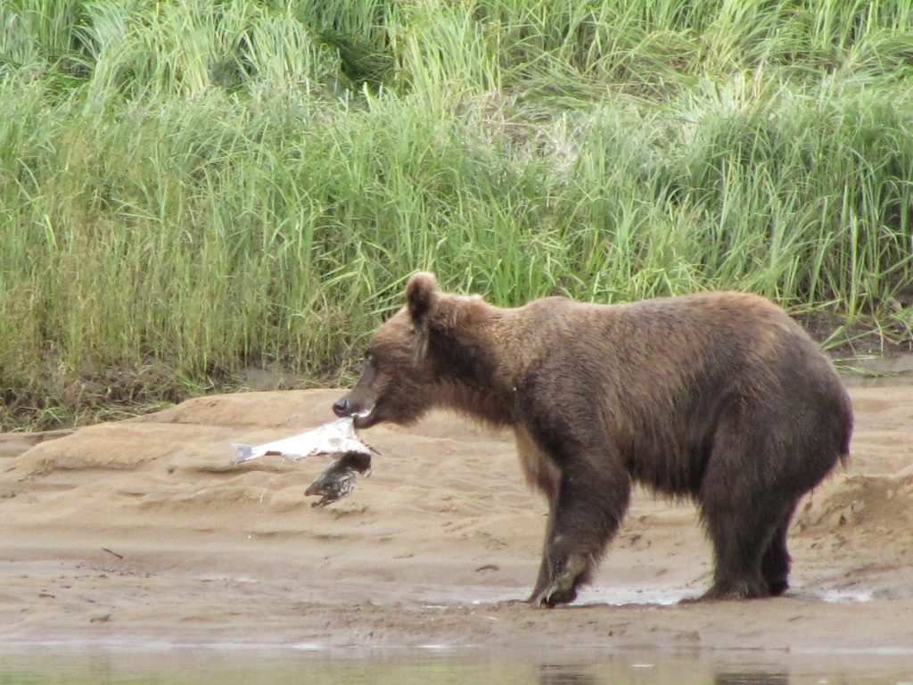 Cub-With-Fish-Alagnak-Lodge