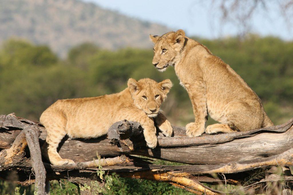 Tanzania-Lion-Cubs