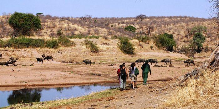 Walking-Safari-Buffalo