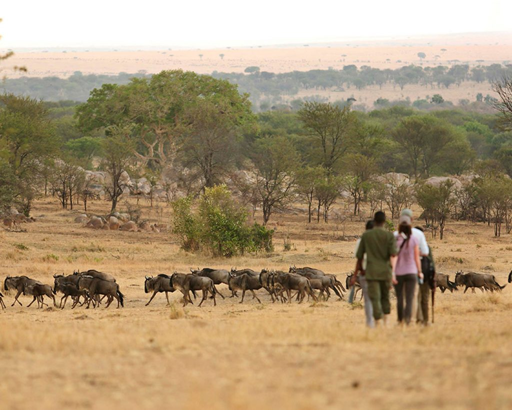 Walking-Safari-Wildebeest