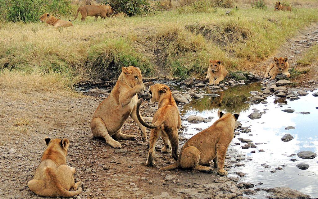 Lion-Cubs-Tanzania-2