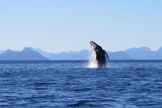 Whales-Sea-Kayak-Loreto