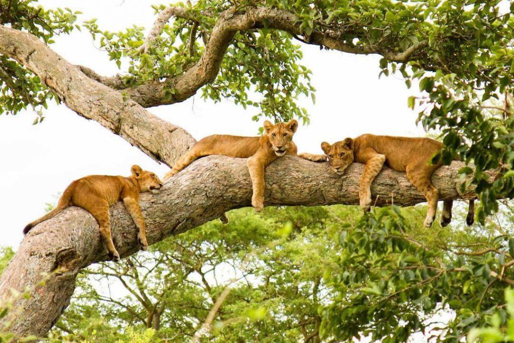 Tree-Climbing-Lions-2